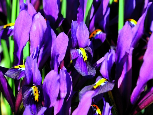 spring color, irises | by naturalflow
