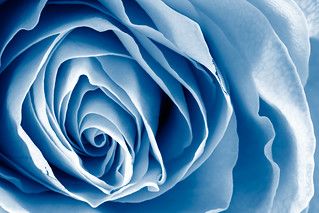 Blue Rose Macro - HDR | by Bold Frontiers