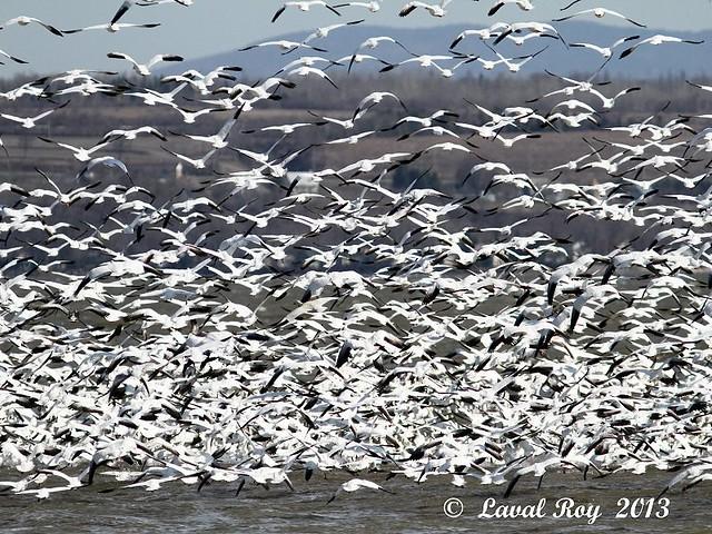 1.00249 Oie des neiges / Chen caerulescens / Snow Goose