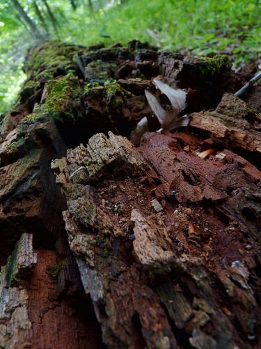Mossy rotting log | by Dendroica cerulea
