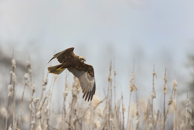 Falco di palude 1