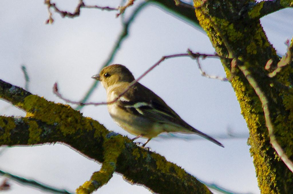 Pinsà femella / Female chaffinch