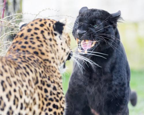 Confrontation | by Tambako the Jaguar