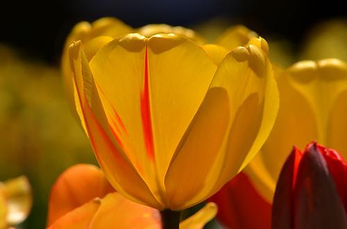 Longwood Tulips -16 Joe | by KathyCat102