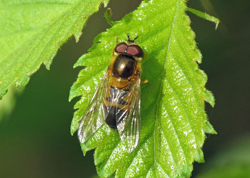 Hoverfly - Epistrophe eligans
