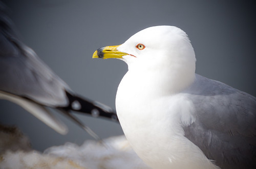 Ring-Billed Gull | by Kurayba