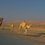 Camels on highway
