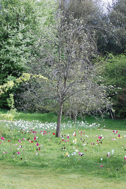 Tulips at Dyrham Park