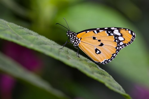 butterfly nikon nature natur naturaleza montreal macro mariposa canada closeup colorful d750 tamron90 dof