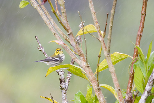 Black-Throated Green Warbler / Setophaga virens | by peter.lindenburg