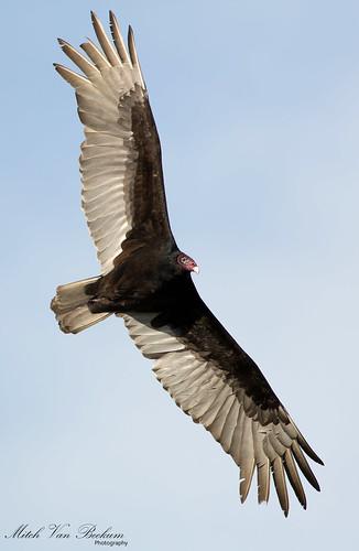 turkey flying inflight vulture buzzard birdinflight cathartesaura turkeybuzzard turkeyvultureinflight thewonderfulworldofbirds canon5dmkiii canonef500mmf4is canon14teleconvertermkiii