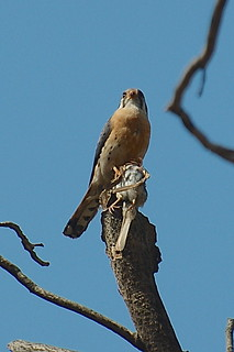 Kestrel eating a titmouse | by A. Drauglis