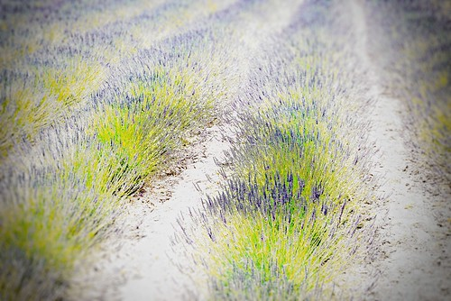 bloom california flower garden matanzascreekwinery sonoma summer winery lavender frankenphoto