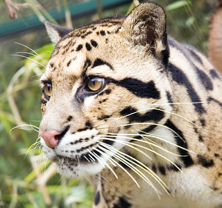 Clouded leopard | by Oregon State University