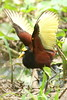 Northern Jacana (Jacana spinosa) - Costa Rica by Peet van Schalkwyk