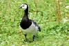 Barnacle Goose (Branta leucopsis) by grubby1949