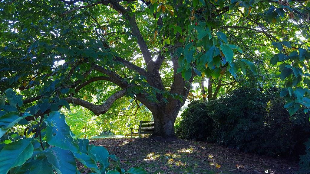 Magnolia Acuminatacucumber Tree North America Flickr