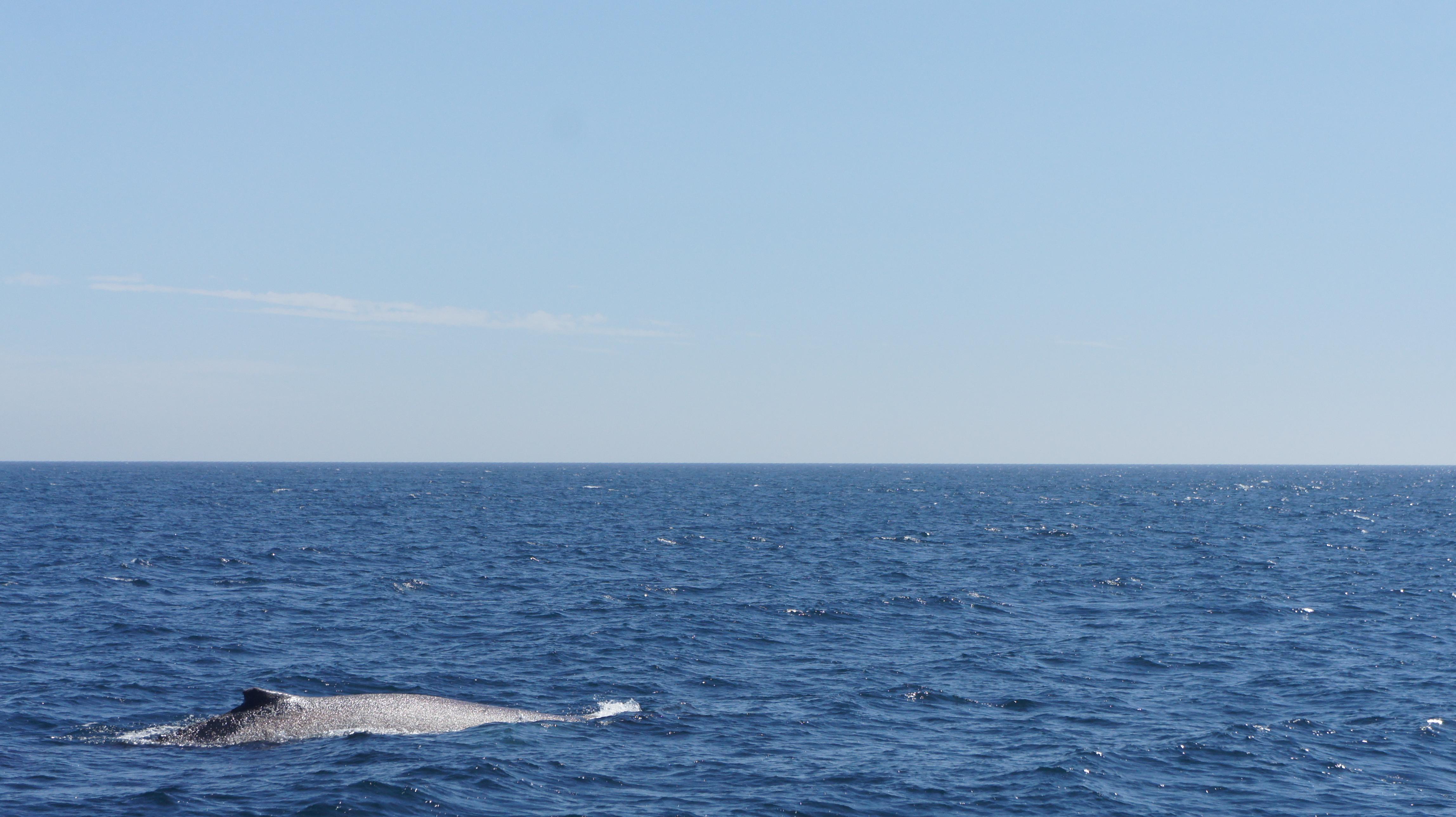 Seal Beach, LBC, Whale Watching 2016
