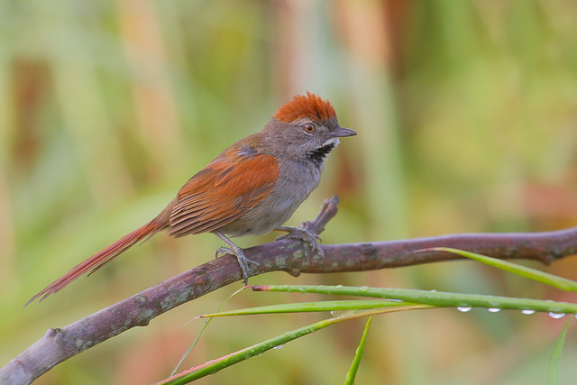 Sooty-fronted Spinetail