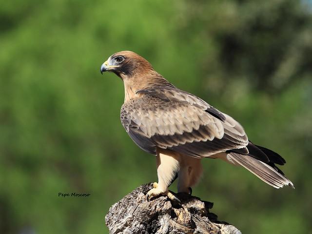 IMG_5699 I  Aguila Calzada (juvenil macho ) Aquila pennata