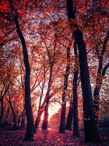 october autumn canopy color enchanting fall foliage forest landscape leaves light nature orange outdoors peaceful red seasons serene sunlight tall tranquil tree trunk woods
