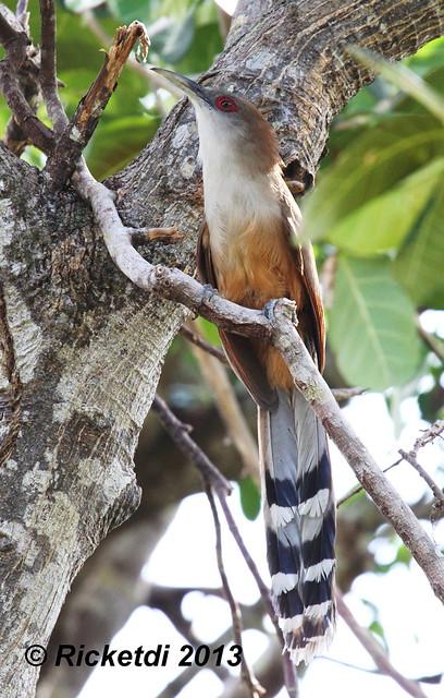tacco de cuba - great lizard cuckoo cuba- Coccyzus merlini