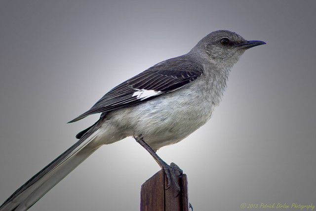 Northern Mockingbird pose