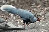 IMG_0244Kalij Pheasant by suebmtl