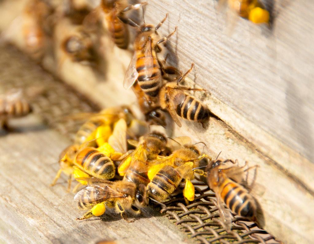 從蜜蜂飼料救蜂群 科學家研發富含營養的花粉替代品 美國養蜂業樂見