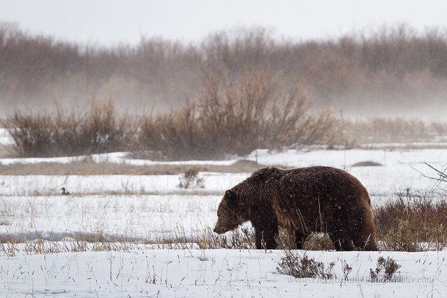 Grizzly Bear in Late Winter Storm