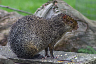 Agouti | by happymillerman