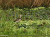 Pheasant-tailed Jacana (Hydrophasianus chirurgus) by gilgit2