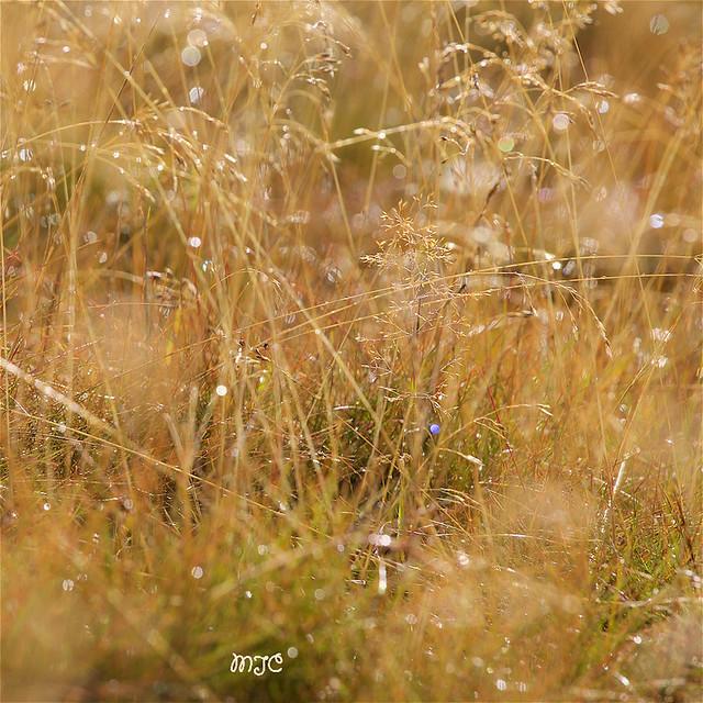 Herbe en lumière... Grass in light ...