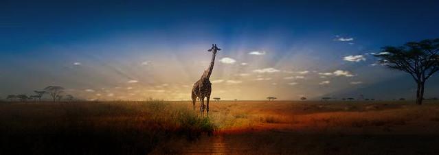 Evening with a giraffe