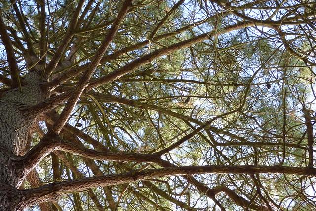 Pinus Halepensis, Aleppo pine at Sheffield Park Garden, National Trust