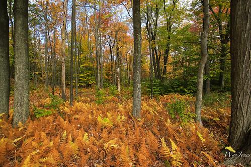 trees color fall woods pennsylvania np ferns fernridge longpond poconomountains poconopines forestautumn wyojones