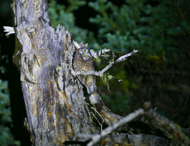 Boreal Owl (Juvenile) head tilt