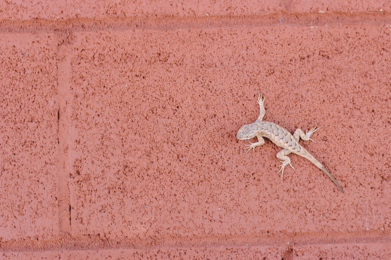 Pale brown lizard on a red brick wall at Homolovi State Park in Arizona