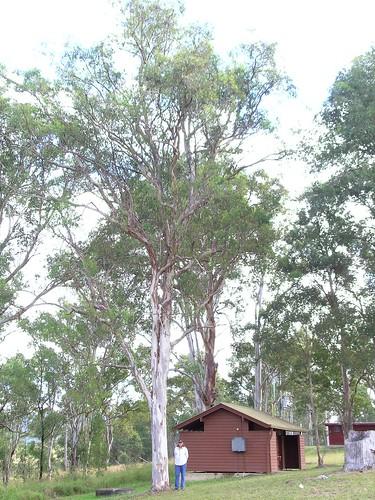 myrtaceae eucalyptus tereticornis forest red gum taxonomy:binomial=eucalyptustereticornis