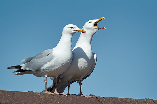 A PAIR OF HERRING GULLS DECLARING THEIR LOVE! | by Robin Procter
