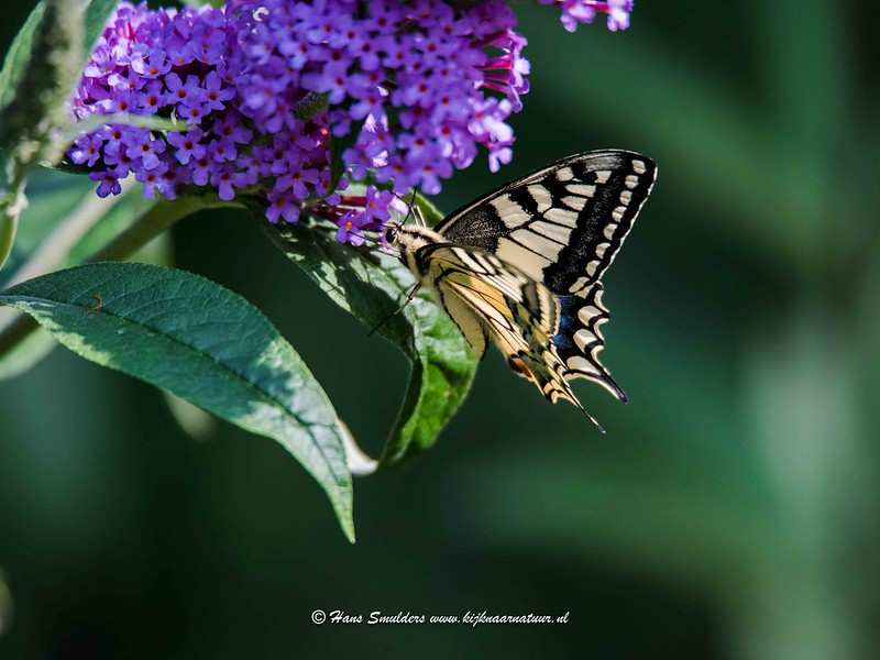 Koninginnenpage (Papilio machaon)-818_5128
