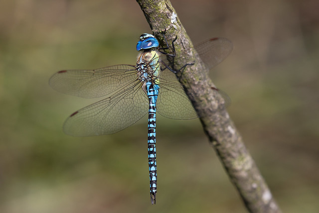 Southern migrant hawker (Priddy Mineries)
