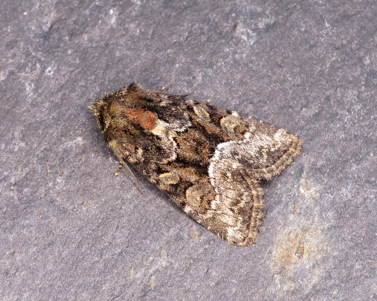 73.173x Marbled Minor - Oligia strigilis agg.