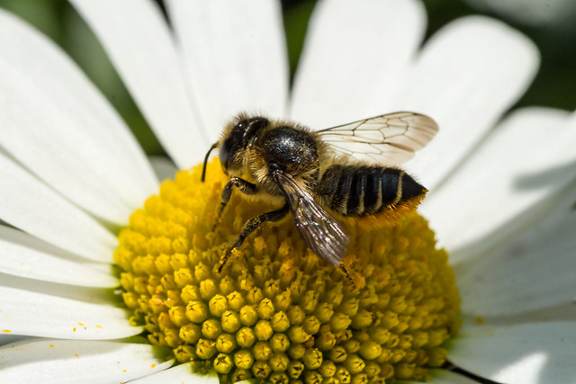 Bee - Megachile centuncularis (20180605_1)