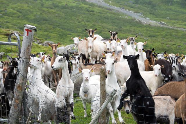 older goats