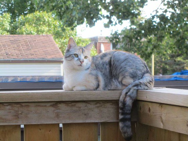Lost calico dilute tortie torbie cat in #huntington 403-923-0505 Pls rt watch share help to find Vienna! YYC Pet Recovery shared Irene MacDougall's post. Lost cat in Huntington, 9 lbs, female, white calico. Near the Esso at 64th and Hunterview Drive NW, H