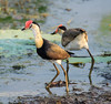 Comb-Crested Jacana (Irediparra gallinacea) (adult) (25 centimetres) by Geoff Whalan