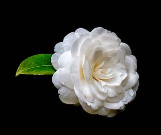 Camellia Japonica (The Japanese Camellia) 'Alba Plena'