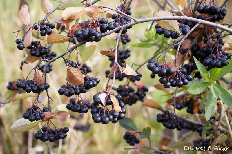 Черноплодная рябина (Арония) - Chokeberry