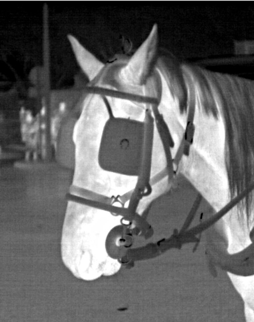 Horse thermal image